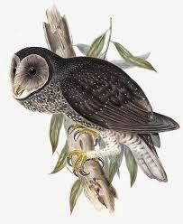 Lechuza tenebrosa: Tyto tenebricosa