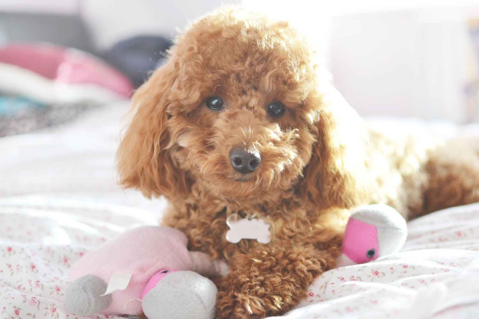 Miniature Poodle Apricot For Sale All Miniature