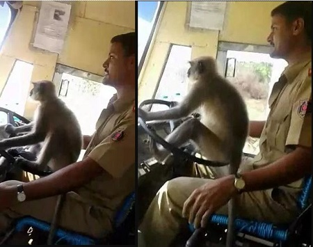 Driver In Trouble For Allowing Monkey Drive Passenger Bus