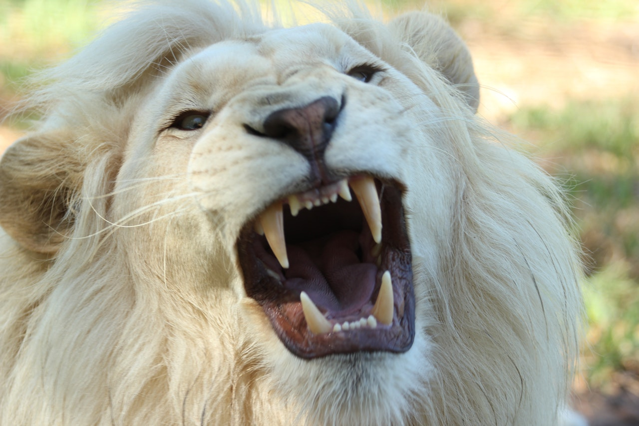 Lew zrobił listę kogo zje...