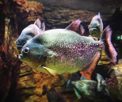 Ikan Piranha genus Pygocentrus