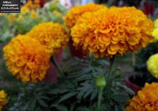 Marigold Flowers. The world through a lens, Photography by Shahzil Rizwan