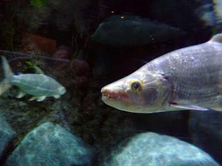 Temperamen Goliath Tigerfish Si Harimau Dari Sungai Afrika