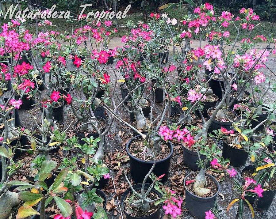 Cultivo de Rosas del Desierto (Adenium obesum) en el techo de un hogar en Cuba