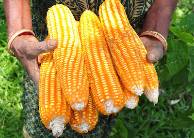 Maize ভুট্টা for Sale/Supply