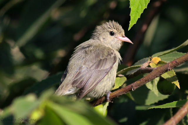 One of the smallest birds found in India - The Pale-billed Flowerpecker