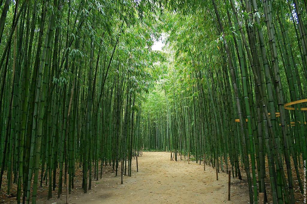 Résultat d'images pour bambous images