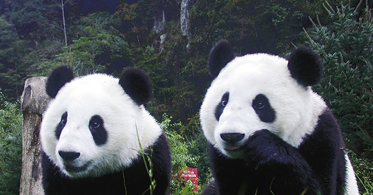 Giant Panda  HD Wallpapers High Definition  Free