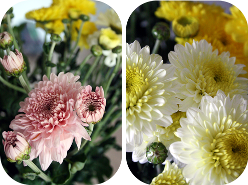 yellow and pink chrysanthemums