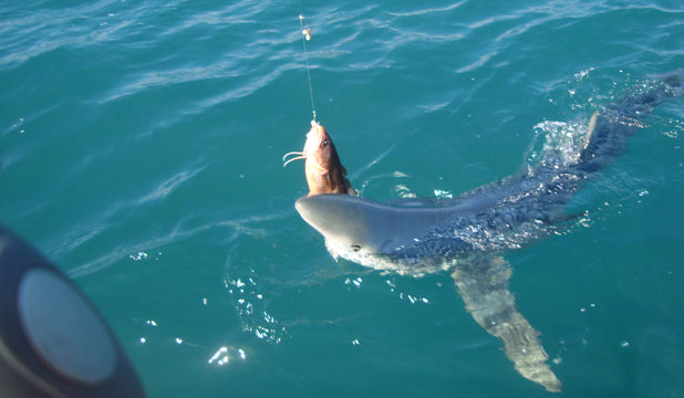 blue-shark-eating another catch