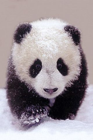 Baby Panda 3d Wallpaper 3d Wallpapers