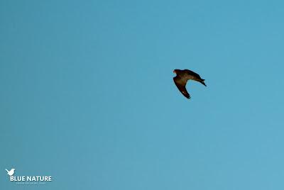 Nada más llegar pudimos ver varios gavilanes (Accipiter nisus) sobrevolando la primera laguna.