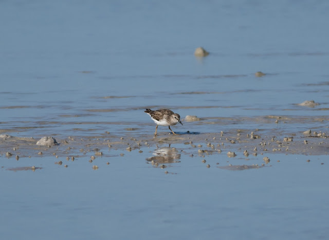 Least Sandpiper - Bunche Beach, Florida