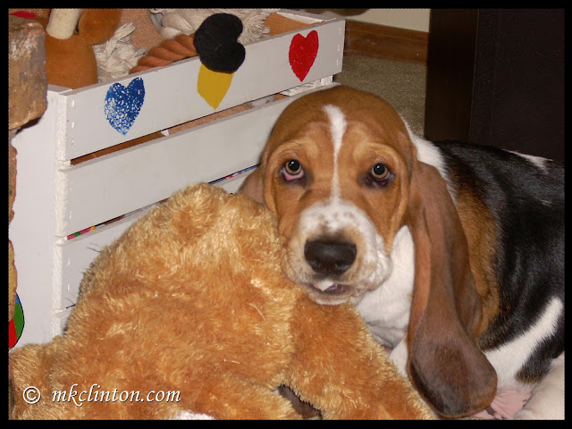 Basset Hound puppy chewing on toy