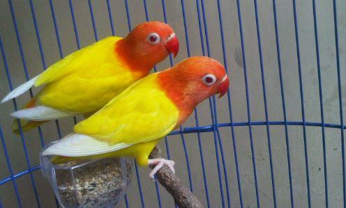 Perbedaan Lovebird Pastel Kuning dan Lutino Terakurat