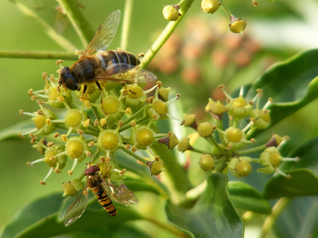 Tapered Drone Fly Eristalis pertinax and Marmalade Hover Fly Episyrphus balteatus on Ivy Hedera helix flowers.  Indre et Loire, France. Photographed by Susan Walter. Tour the Loire Valley with a classic car and a private guide.