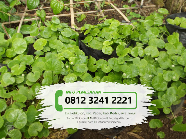 Jual Bibit Herbal Pegagan