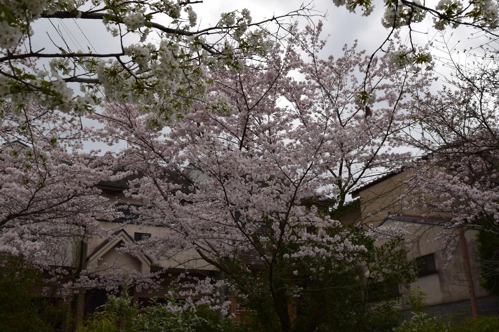 Kyoto Philosophers path Sakura