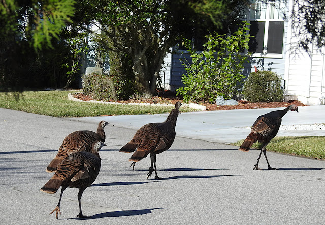Wild turkeys crossing the road.