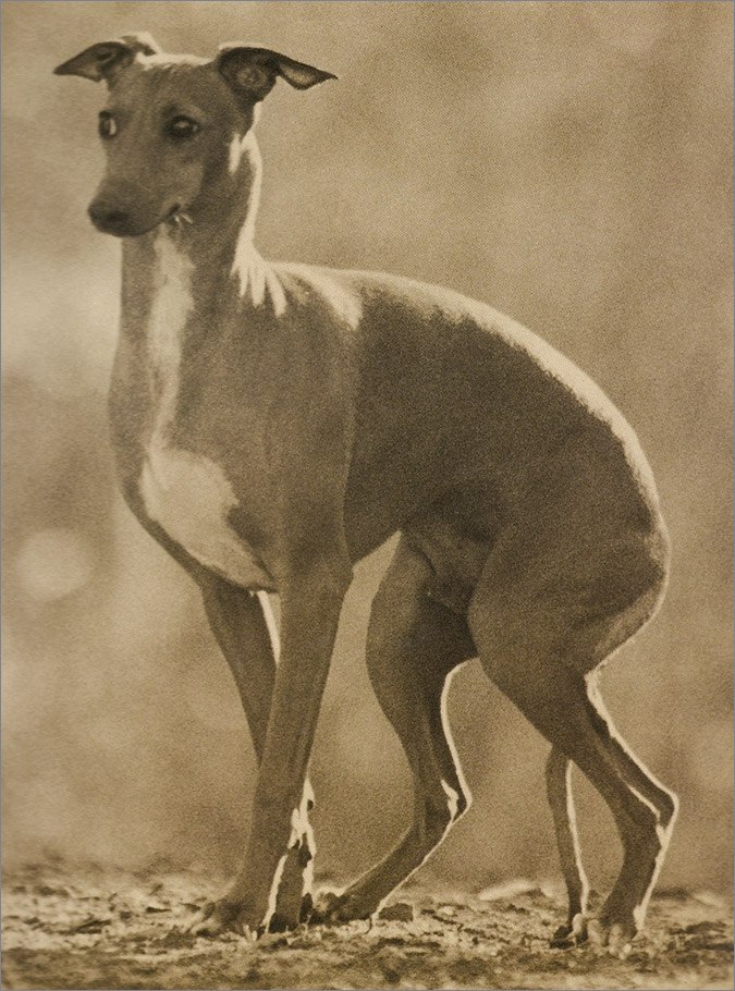 Notes from the Pack - a dog blog. An Italian Greyhound.