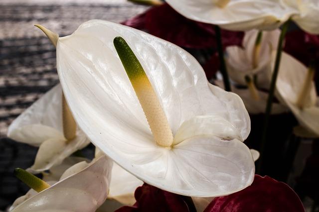 Hoa hồng môn trắng