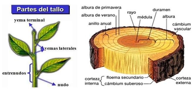 El mundo de la ciencia clasificaci n de los seres vivos for Cuales son las partes de un arbol