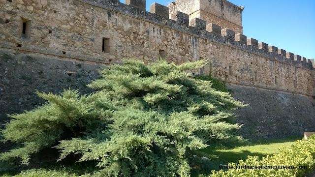 Enebro a los pies de la muralla del castillo de Niebla