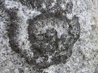 Lichen qui dessine des arabesques sur les rochers - Montanelia sp.