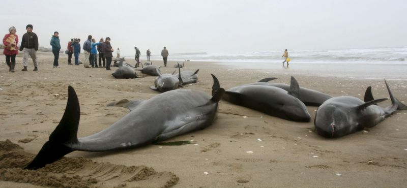 http://samy909news.blogspot.com/2017/01/dozens-of-dead-dolphins-were-found-in.html