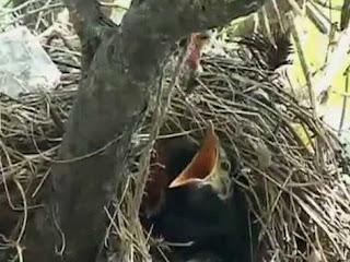 Sarang Burung Jalak Suren Di Alam Bebas