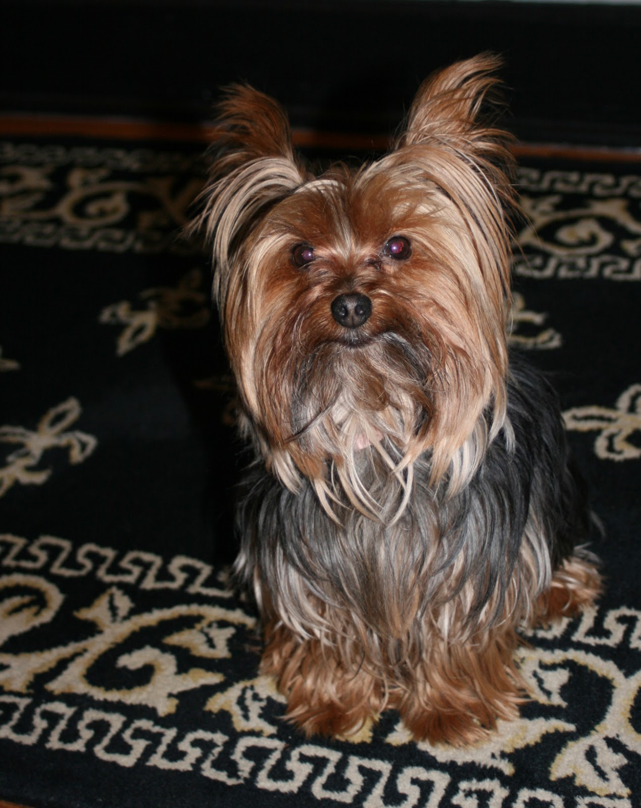 minature yorkie miniature yorkshire terrier time for a yorkie haircut 9022