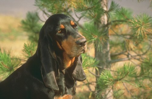 The dog in world: Black and Tan Coonhound dogs - photo#24