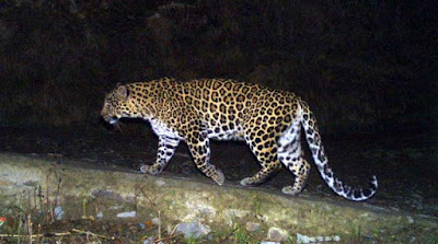 Leopard attack in kurseong