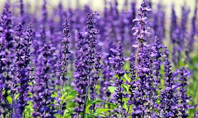 lavender ayurveda