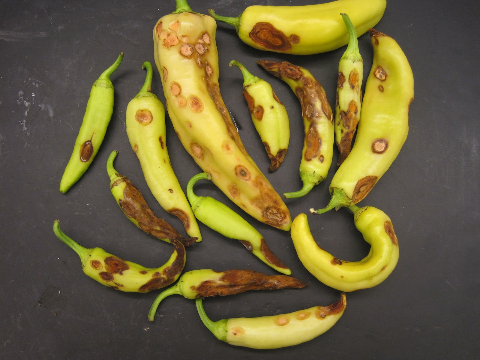 Ncsu pdic august 2012 - How to can banana peppers from your garden ...