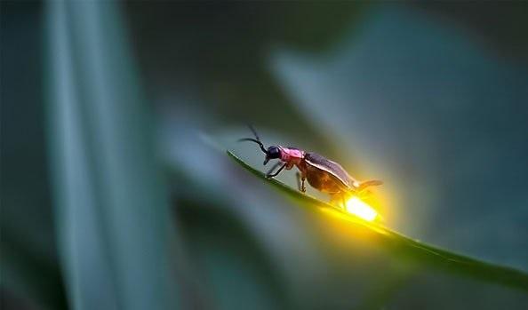 Kenapa Kunang-Kunang Bisa Mengeluarkan Cahaya