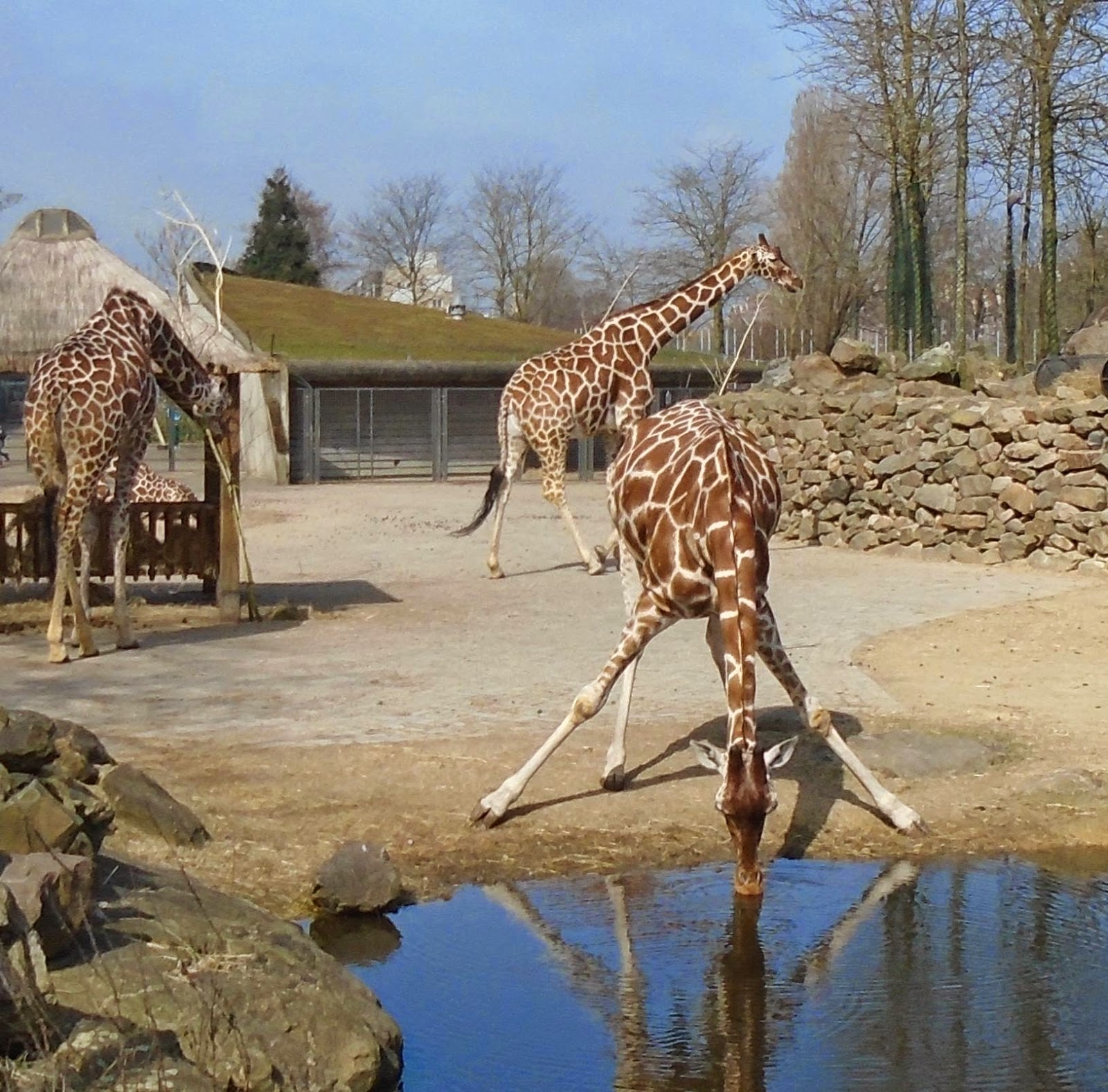 Giraffes at Amsterdam Zoo