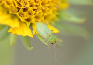 Northern corn rootworm beetle