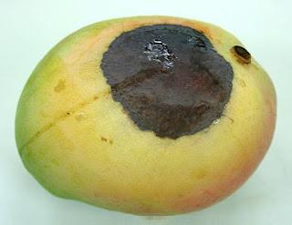 expired mango