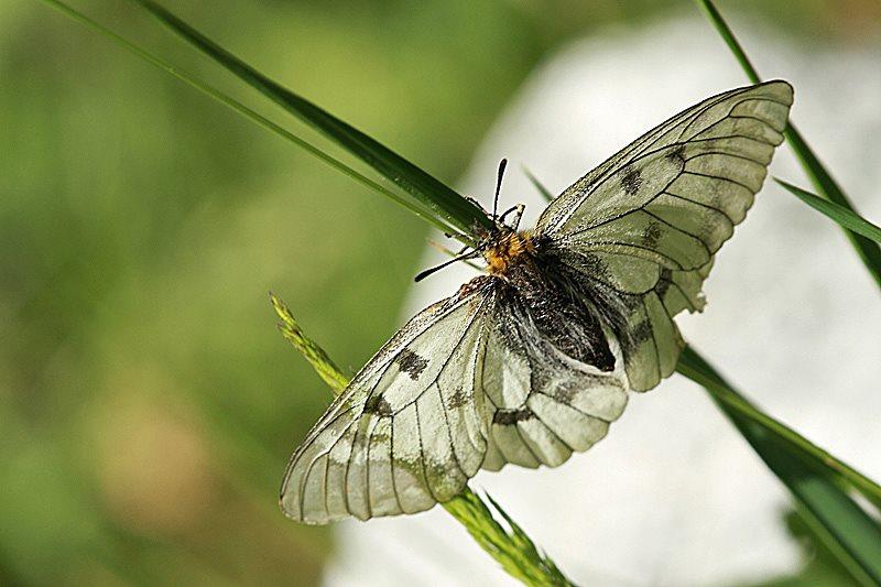 Bolboreta Parnassius mnemosyne