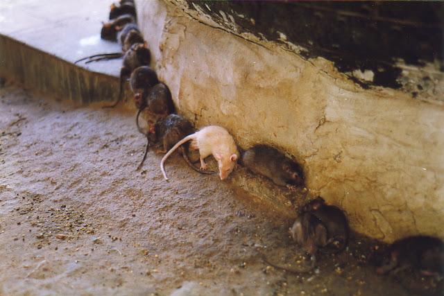 white rat karni mata temple bikaner