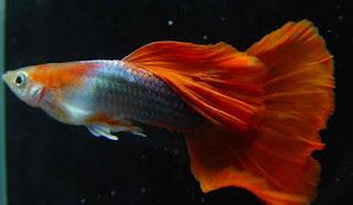 أسماك الطاووس الصينية الرائعة الجمال سبحــــــان الله image0044-726002.jpg