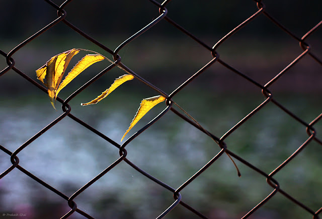 A Minimalist Photo of Dry Yellow Leaves Hanging on Metal Fence