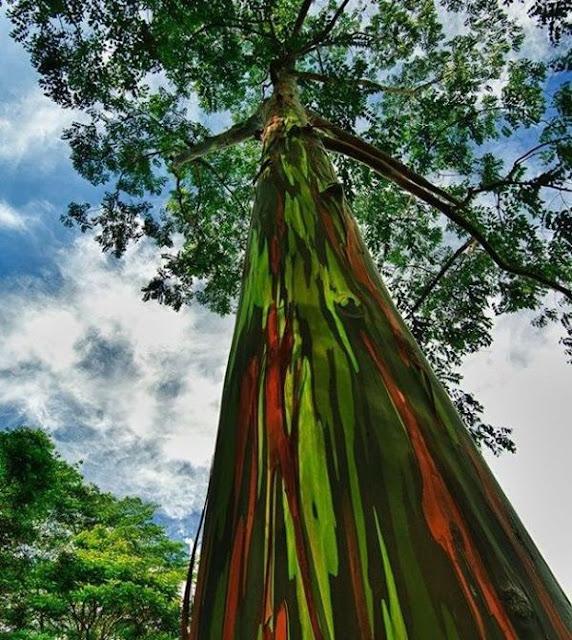 أشجار رينبو أوكالبتوس في هاواي