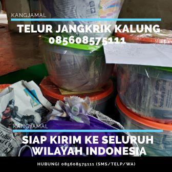 Agen Jual Telur Jangkrik Padang