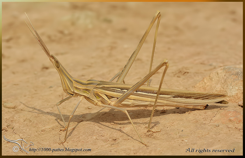 Snouted (or Long headed) grasshopper