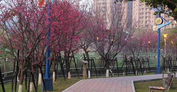 《台中.太平》2018太平麗園公園-300公尺櫻緣道櫻花開,公園就有整排櫻花可以欣賞