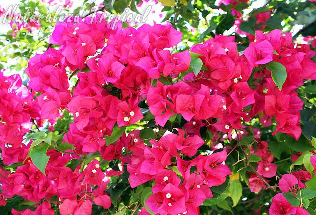 Floración de una Buganvilla, género Bougainvillea