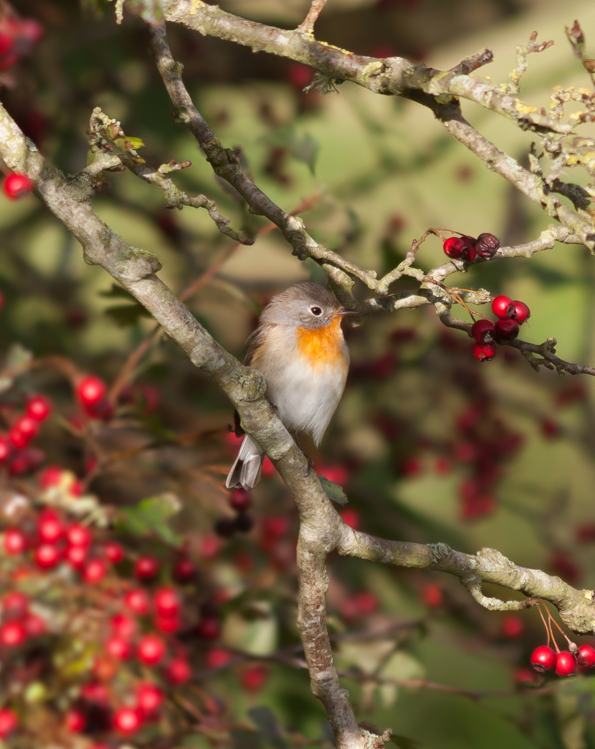 Red-breasted Flycatcher - Beachy Head, Sussex