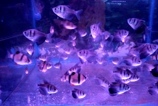Jenis dan harga Ikan Molly Marbel